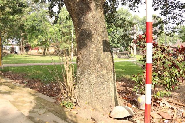 Một trong ba cây sưa có đường kính cỡ hai vòng tay người lớn, cao khoảng 15m và tán lá bao phủ cả một khu vực rộng.