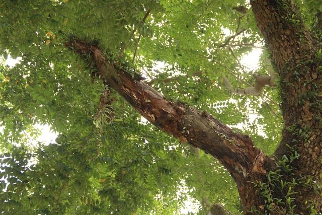 Nhiều phần cành cây, thậm chí thân của cây sưa này đã bị chết khô, mối mọt, nhưng người dân trong xã không thể chặt bỏ vì thủ tục rắc rối. Phần lõi bên trong của cây cũng bị một rỗng.