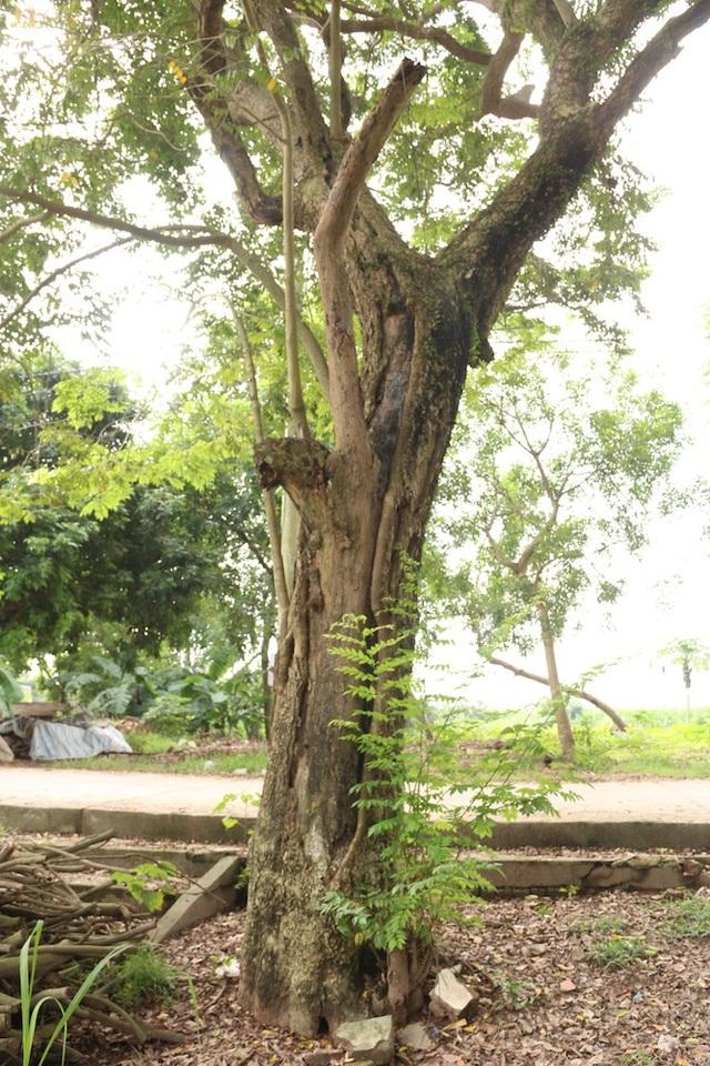 Cây sưa thứ 2 cũng nằm gần đường bê tông trong làng, theo tổ trưởng tổ bảo vệ khu vực di tích đình Quán Giá, một nhánh của cây sưa này đã bị kẻ trộm cưa mất trong một đêm mưa gió.