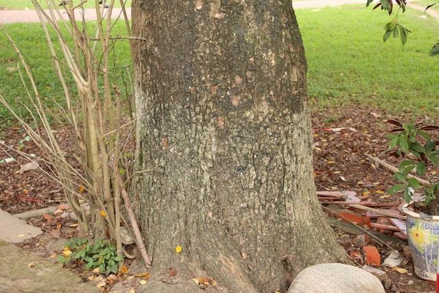 Hai cây sưa to nhất, nhiều tuổi nhất đều nằm sát với đường bê tông trong làng.
