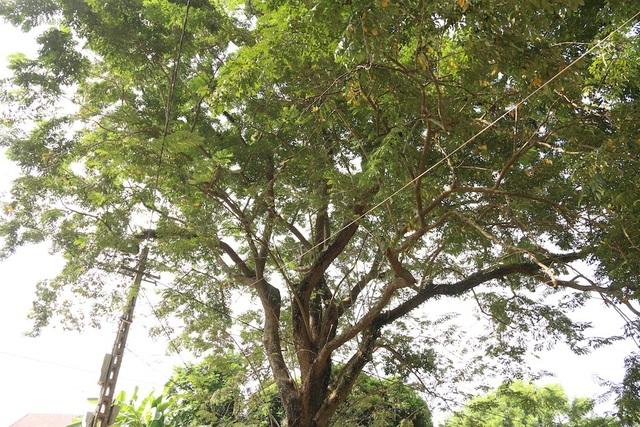 Cây sưa to nhất nằm trong khuôn viên đình Quán Giá vẫn xanh tốt, đầy sức sống.