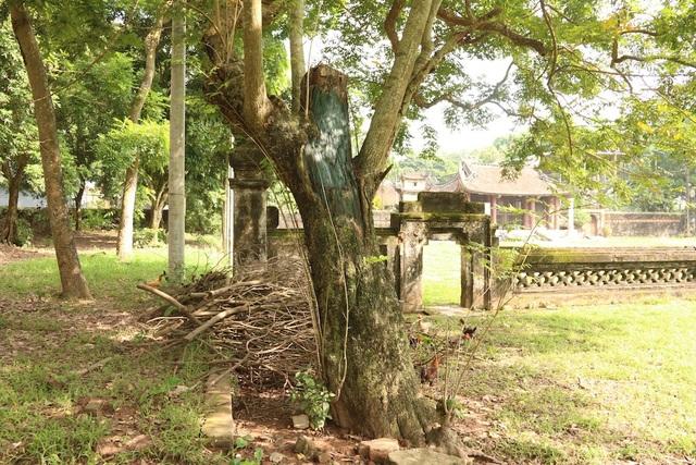 Cây sưa thứ 3 cũng đang trong hoàn cảnh tương tự, phần ngọn đã cắt bỏ, phần lá cây xanh tốt hiện tại là do mầm cây mọc lên.