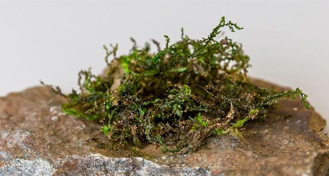 Chi rêu tản Radula perrottetii được cho có khả năng thay thế cần sa y tế trong tương lai.