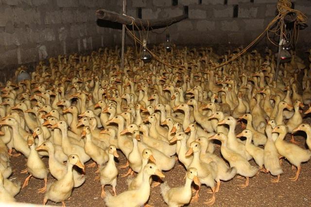 Ông Trợ đang nuôi hơn 1.000 chú vịt con để chuẩn bị thay lứa vịt mới