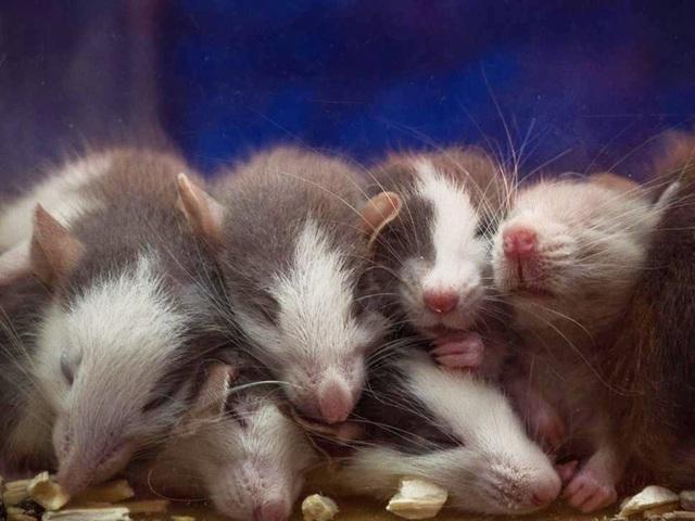 """Nước mắt của chuột con có chất ESP22 có khả năng giúp chuột cái không còn """"hứng thú"""" với chuột đực."""