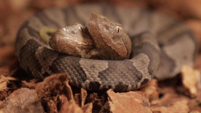 Con rắn hai đầu vừa được phát hiện ở Mỹ