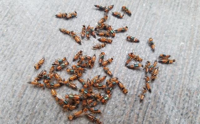 Hàng đàn kiến ba khoang xuất hiện tại gia đình chị Trang