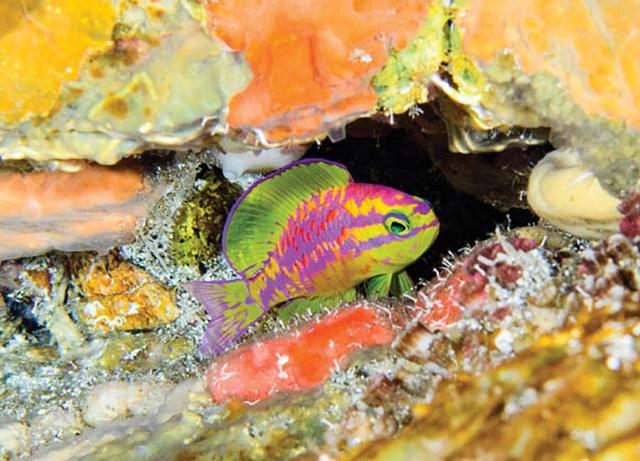 Với màu sắc đặc biệt, các nhà nghiên cứu sinh vật biển cho rằng đây không phải là loài cá duy nhất ở vùng biển tối có màu sắc đặc biệt.