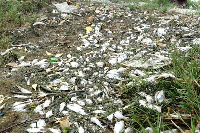 Nhiều xác cá chết trôi dạt vào bờ bốc mùi hôi thối