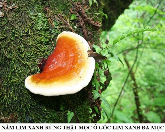 Ảnh: Nấm lim xanh mọc trên gỗ lim xanh rêu mục