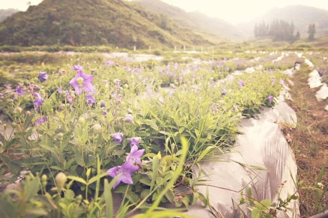 Chỉ là những luống cây trồng thấp dài thẳng tắp, chỉ là sắc hoa tím rịm ấy, vẻ đẹp bình dị của cát cánh lại khiến người nhìn không thể không nhớ không thương sau một lần ngắm nhìn.