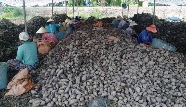 Khoai lang đã có trong danh sách mặt hàng nông sản xuất khẩu sang Trung Quốc của tỉnh Vĩnh Long