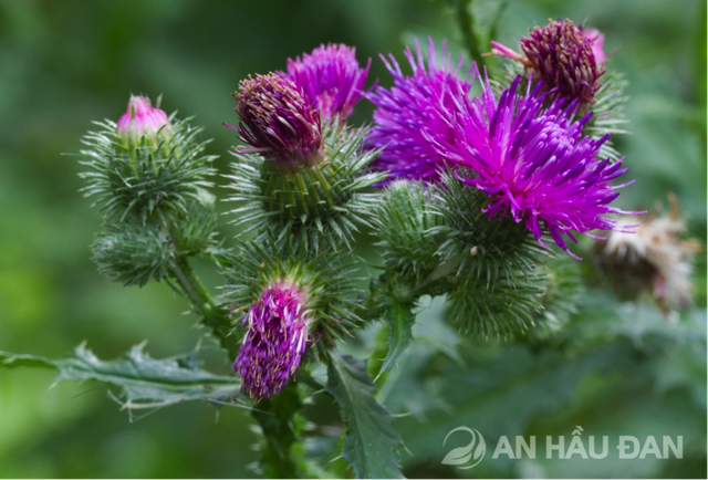 Cúc lục lăng có thành phần kháng sinh thực vật tạo nên sự bứt phá trong hỗ trợ giảm các chứng bệnh viêm hầu họng an toàn và hiệu quả.