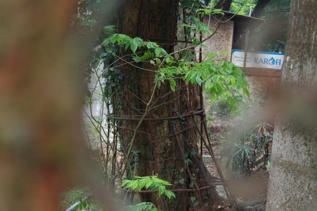 Thân cây sưa trăm tỉ được nhiều dây leo quấn xung quanh (Ảnh: Nguyễn Trường).