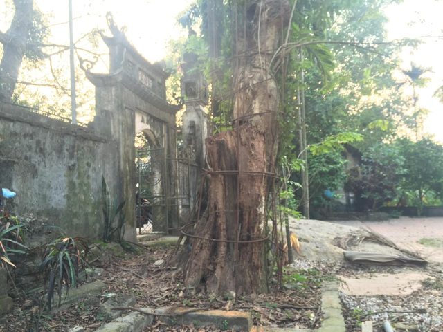 """Cây sưa đỏ trăm tỉ nằm """"hấp hối"""" gần cổng tam quan của ngôi chùa ở thôn Phụ Chính (Ảnh: Nguyễn Trường)."""