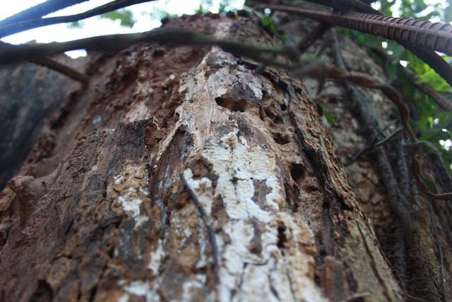 Nhiều vị trí trên cây sưa đã ải mục do thời tiết tác động (Ảnh: Nguyễn Trường).