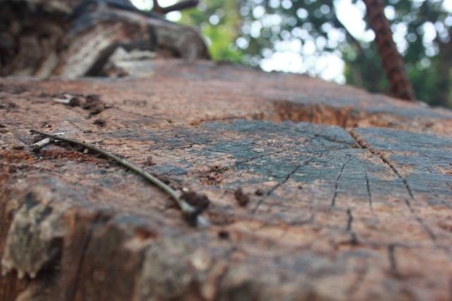 Vị trí nhánh cây sưa cắt trước đây được đấu giá hơn 31 tỉ đồng (Ảnh: Nguyễn Trường)