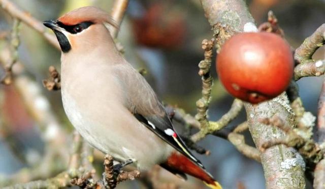 """Những chú chim """"say"""" tại Mỹ được cho là do ăn quá nhiều quả mọng lên men sớm."""