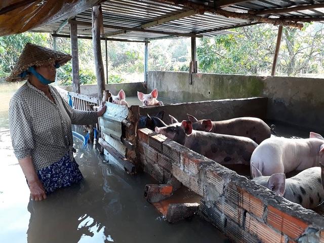 Nước tràn vào chuồng heo của một hộ dân ở quận Ninh Kiều.