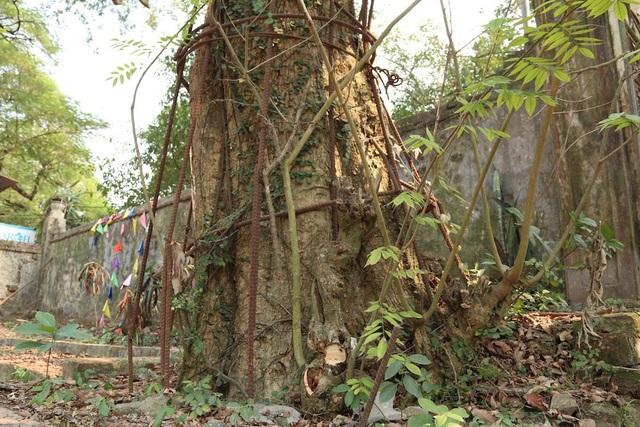 Vào năm 2010, một nhánh của cây sưa bị gãy đổ và được bán theo hình thức đấu giá cho một đại gia gỗ ở Đồng Kỵ (Từ Sơn, Bắc Ninh) với giá 20,5 tỷ đồng. Tuy nhiên, khi xe chở số gỗ sưa trên vừa ra khỏi địa phận xã Hòa Chính, sang xã Đồng Phú thì bị Công an huyện Chương Mỹ kiểm tra, tạm giữ.