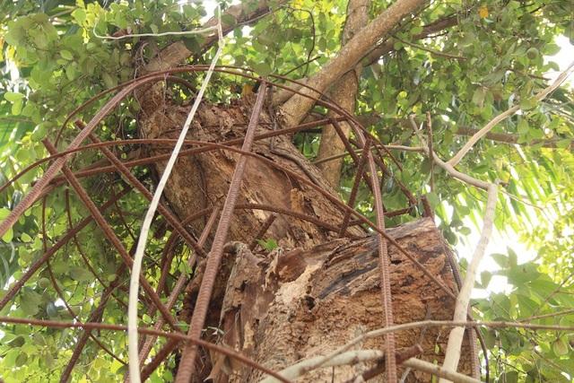 Do mức độ đắt đỏ của cây nên để tránh mất trộm ở nhiều nơi, người dân phải quấn dây thép bảo vệ cây. Ảnh: Trọng Trinh