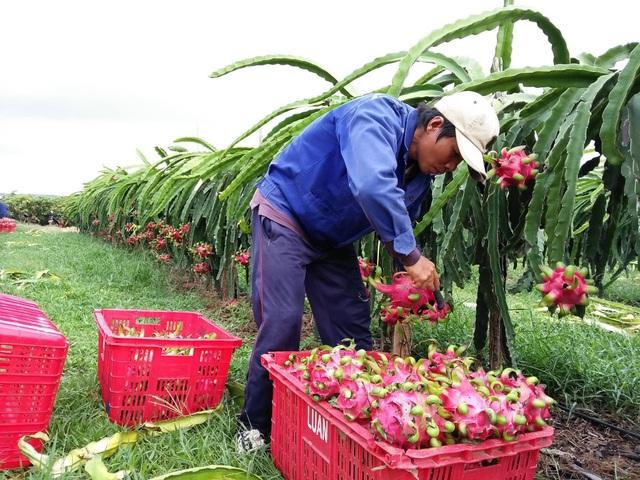 Những vườn hiếm hoi tìm được thương lái mua cũng với giá rất rẻ, tầm 2.000 đồng/kg