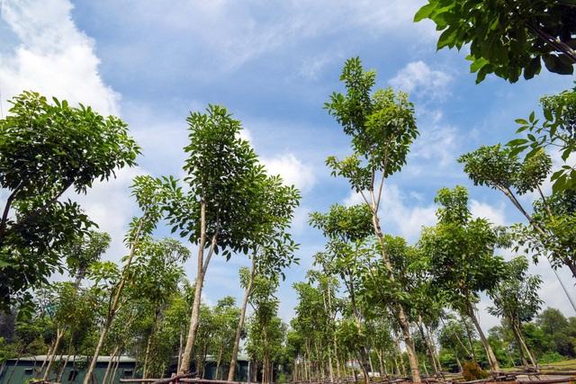 Vườn ươm gồm 400 cây Singapore Sakura tại đô thị Phú Mỹ Hưng đang trong công đoạn được chuyển ra trồng trong công viên Sakura Park.
