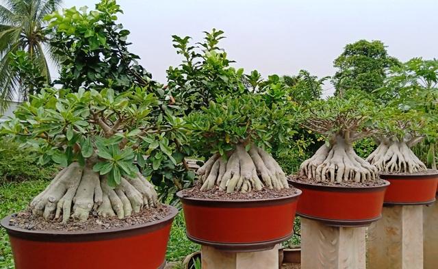 Ngoài làm sứ chân dài anh còn làm sứ bonsai như thế này