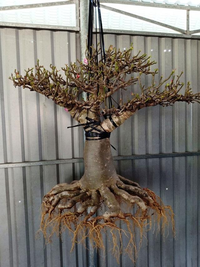 Từ cây sứ Thái, có thể làm sứ chân dài hay sứ tàn (chăm chút tán cây và bộ rễ)
