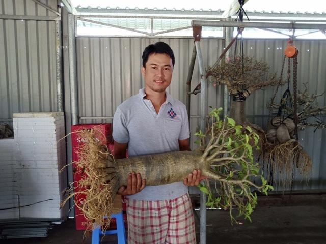 Anh Trần Duy Phong cho biết khi tạo được cây sứ chân dài như thế này phải mất 6 năm. Cây có tán và bộ rễ như một cây cổ thụ