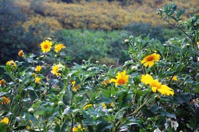 Cứ vào tháng 10 - 11 hàng năm, người dân trong và ngoài tỉnh đã đổ xô về núi lửa để ngắm hoa dã quỳ và leo núi