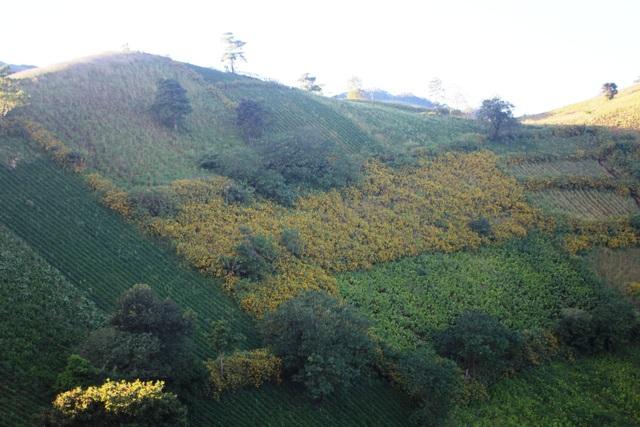 Những cánh đồng hoa dã quỳ đã nhuộm vàng ngọn núi lửa Chư Đăng Ya