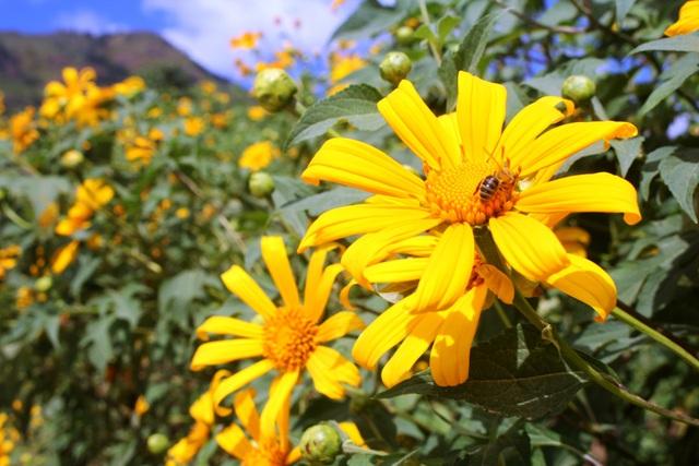 Cận cảnh những bông hoa dã quỳ đầu mùa...
