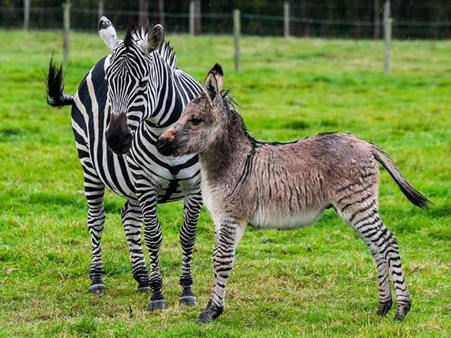 Lừa vằn Zippi bên cạnh ngựa vằn mẹ Ziggy.