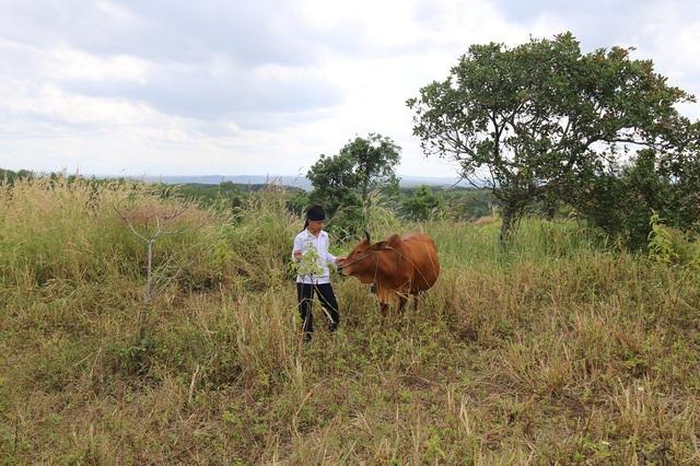 Tài sản duy nhất là con bò, Vượng tính bán đi để trả nợ ngân hàng