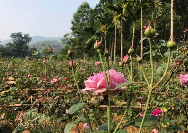 Sau 2 năm mày mò học hỏi và đầu tư số tiền cực lớn, chị Tuyết sở hữu vườn hoa hồng hữu cơ để làm trà nguyên bông rộng gần 3,5ha