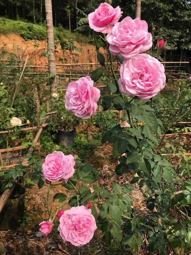 Các loại hoa hồng trong vườn được trồng ở khu tách biệt theo phương pháp hữu cơ