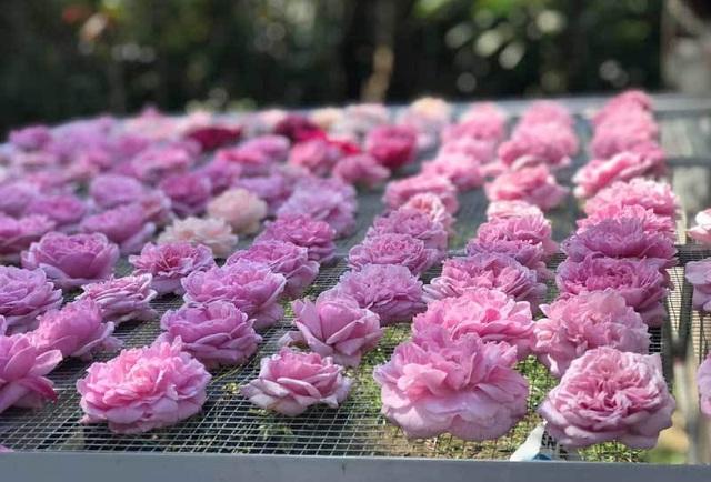 Mất đúng một năm trời thử nghiệm các phương pháp chị Tuyết mới tìm ra nhiệt độ sấy trà hoa hồng chuẩn nhất