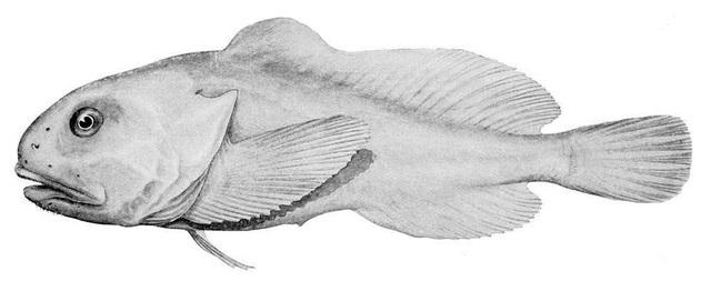 Còn đây là hình dạng thật của Blobfish khi sống trong môi trường dưới đáy biển sâu.