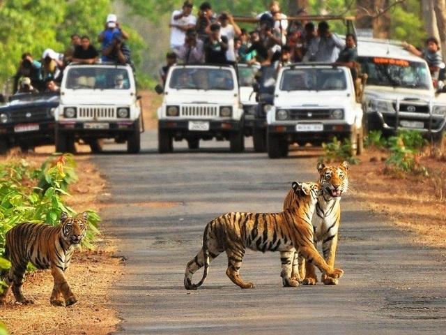 Đoàn khách tham quan vườn quốc gia Tadoba trên xe chuyên dụng