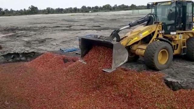 Nông dân trồng dâu Australia khốn đốn vì các nhà bán lẻ và siêu thị ngừng nhập khẩu mặt hàng do lo ngại lý do an toàn (Ảnh: 9 News)