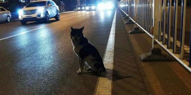 Chú chó trung thành đợi chủ nhân suốt 80 ngày bên đường cao tốc.