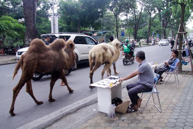 Lạc đà được dắt đi dạo nhằm mục đích làm quen với thời tiết, khí hậu ở Hà Nội.