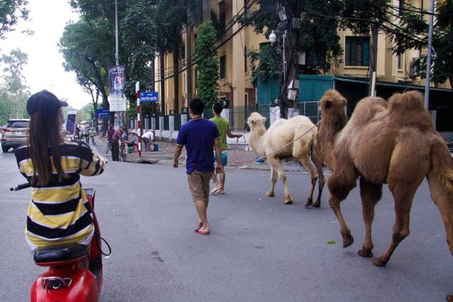 Một người dân nhanh tay chụp lại bức ảnh hình ảnh chú lạc đà, hình ảnh hiếm có này.