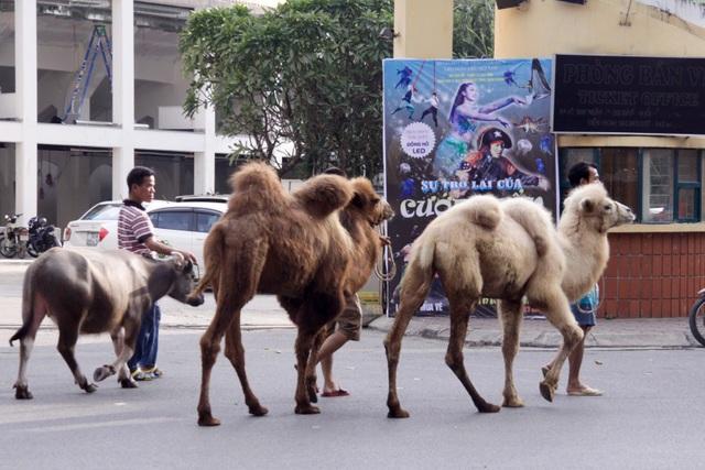 Lạc đà có tuổi thọ trung bình từ 45 đến 50 năm. Lạc đà có thể chạy 65 km/h ở vùng có cây bụi ngắn và duy trì tốc độ lên đến 65 km/h, cân nặng từ 300 kg đến 1000 kg tuỳ giống.
