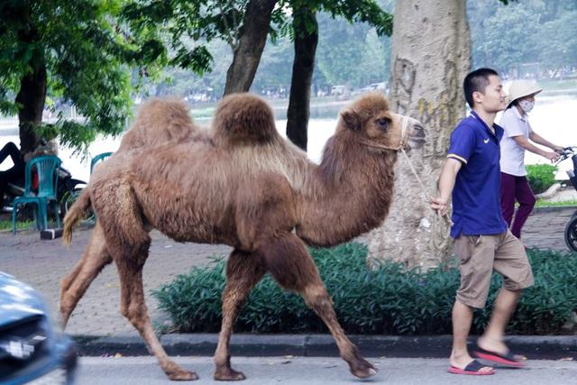 Cảnh tượng lạc đà đi dạo trên phố khiến nhiều người ngạc nhiên, pha chút cảm giác thú vị.