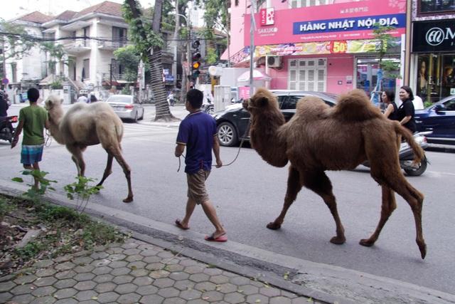 Lạc đà dạo phố Hà Nội khiến người dân tò mò - 6