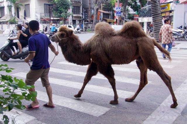 Lạc đà dạo phố Hà Nội khiến người dân tò mò - 7