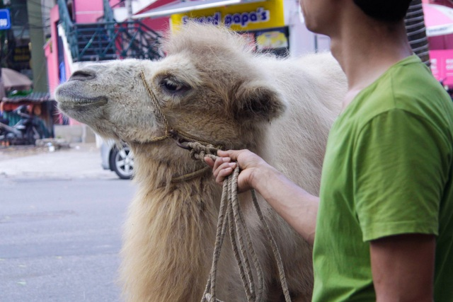 Những chú lạc đà đang bắt đầu làm quen với thời tiết, môi trường sống ở Hà Nội.