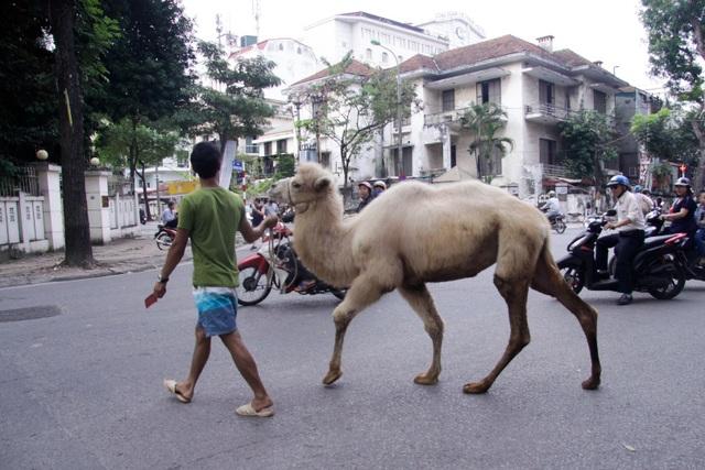 Lạc đà là tên gọi để chỉ một trong hai loài động vật guốc chẵn lớn trong chi Camelus, là lạc đà một bướu và lạc đà hai bướu. Cả hai loài này có nguồn gốc từ các vùng sa mạc của châu Á và Bắc Phi. Đây là loài động vật lớn nhất sống được trên sa mạc và các vùng khô cằn thiếu nước uống.